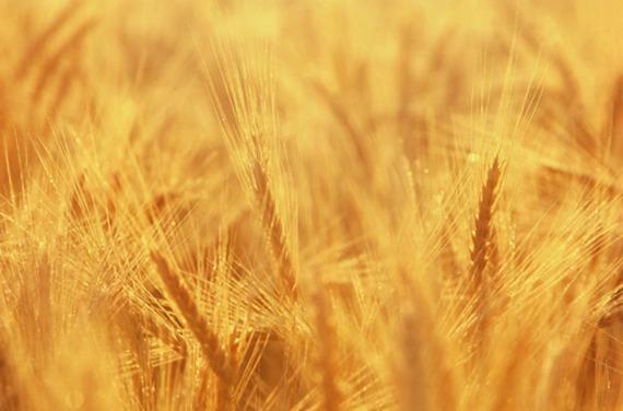 wheat small